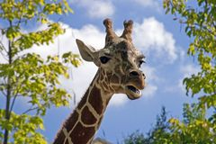 Above it All. Head shot of a giraffe stock photography