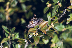 Above bush cicada. High angle view of a cicada on top a bush Royalty Free Stock Photography