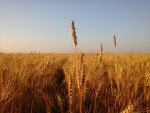 Spike of wheat with florets  Royalty Free Stock Photo