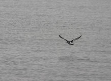 Above the ocean. A photo of a flying bird stock photography