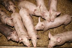 Above photo of pink colored piglets in the barn. Piglets growing up at an industrial animal farm Stock Images