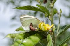 Queen Alexandra Butterfly on Pigeon Peas royalty free stock images