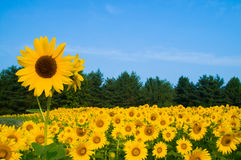 Above the Rest. A single sunflower grows higher than the others in the field stock images