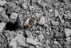Macro Ant. An above shot of an ant walking out of his hole Royalty Free Stock Photos