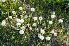 Above view of blowball flowers on green meadow Stock Photos