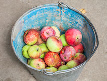 Above view of bucket with fresh windfall apples Royalty Free Stock Image
