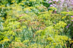 Above view of flowering dill herbs. On the field royalty free stock images