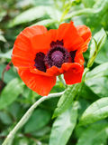 Above view of red poppy flower close up Stock Photo