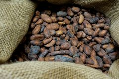 Above view of toasted cacao beans. At a chocolate workshop royalty free stock photography