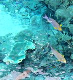 Above Water Colorful Parrot Fish Royalty Free Stock Images