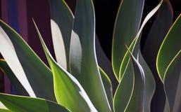 Abrégé sur agave Photographie stock libre de droits
