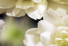 Abrégé sur fleurs blanches Images libres de droits