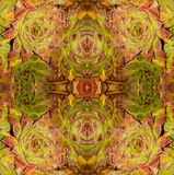 Abrégé sur 2 longissima d'Echeveria Image stock