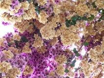 Abrégé sur pourpre fleur blanche fou Images stock