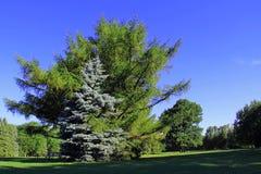 Abraçando árvores Imagem de Stock