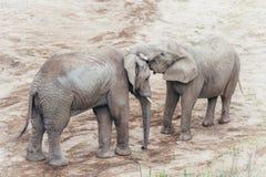 Abraçando elefantes Fotografia de Stock Royalty Free
