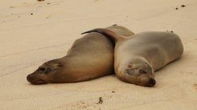 Abraçando o leão de mar de Galápagos foto de stock