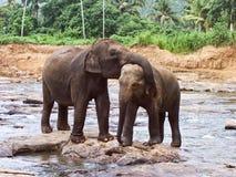 Abraçando os elefants que tocam lisamente no sócio Imagem de Stock