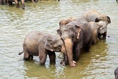 Abraçando os elefants que tocam lisamente no sócio Fotografia de Stock