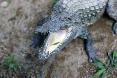 Abra as maxilas de um crocodilo Imagens de Stock
