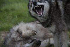 Abra a boca do cão dominante sobre os outros indivíduos Fotos de Stock Royalty Free