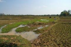 Abra el campo con las vacas, la India Fotos de archivo libres de regalías
