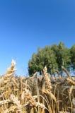 Abra el campo de trigo con los árboles en el fondo - escena del verano Imagenes de archivo