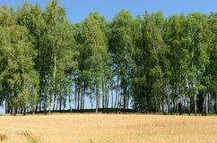 Abra el campo de trigo con los árboles en el fondo - escena del verano Fotos de archivo libres de regalías