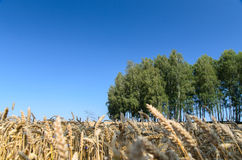 Abra el campo de trigo con los árboles en el fondo - escena del verano Foto de archivo libre de regalías