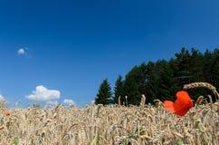 Abra el campo de trigo con los árboles en el fondo - escena del verano Fotografía de archivo libre de regalías