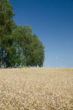 Abra el campo de trigo con los árboles en el fondo - escena del verano Imagen de archivo