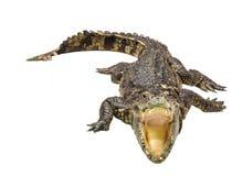 Abra el cocodrilo de la boca aislado en el fondo blanco Fotografía de archivo