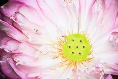 Abra el flor de la flor de loto Fotografía de archivo libre de regalías