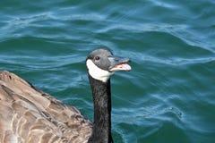 Abra el ganso de la boca en el agua azul Fotografía de archivo libre de regalías