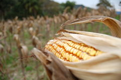 Abra el maíz Fotografía de archivo libre de regalías