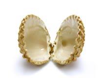 Abra el shell de concha de peregrino Imagen de archivo libre de regalías