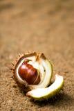 Abra el shell de la castaña de caballo fotografía de archivo