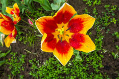 Abra el tulipán Imagenes de archivo