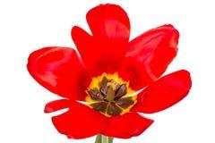 Abra el tulipán rojo imagen de archivo