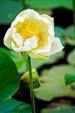 Abra a flor amarela Foto de Stock