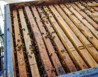 Abra la colmena de la abeja Tablón con el panal en la colmena El arrastre de las abejas a lo largo de la colmena Abeja de la miel Fotografía de archivo