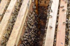 Abra la colmena de la abeja Tablón con el panal en la colmena El arrastre de las abejas a lo largo de la colmena Abeja de la miel Fotos de archivo libres de regalías