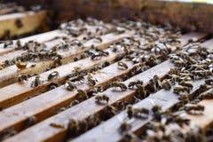 Abra la colmena de la abeja Tablón con el panal en la colmena El arrastre de las abejas a lo largo de la colmena Abeja de la miel Foto de archivo