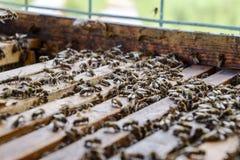 Abra la colmena de la abeja Tablón con el panal en la colmena El arrastre de las abejas a lo largo de la colmena Abeja de la miel Foto de archivo libre de regalías