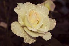 Abra la rosa color nata decorativa de la flor cubierta con descensos del rocío Fotos de archivo libres de regalías