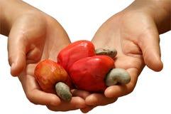Abra las manos que sostienen la fruta roja del anacardo Imagen de archivo