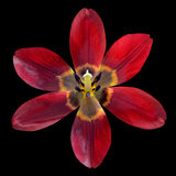 Abra a Lily Flower Isolated roja en fondo negro Imagen de archivo