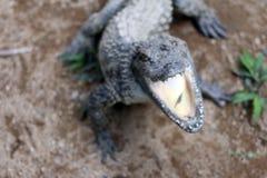 Abra los mandíbulas de un cocodrilo Foto de archivo
