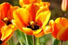 Abra los tulipanes Imágenes de archivo libres de regalías
