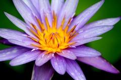 Abra Lotus Flower roxa Fotografia de Stock Royalty Free